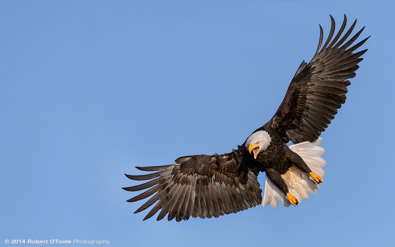 Eagle-landing-one-Robert-OToole-Photo.jpg