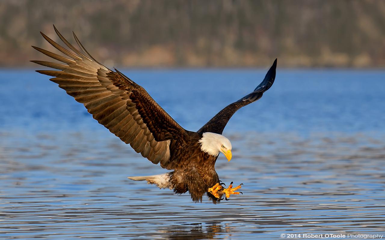 Eagle-morning-strike-Robert-OToole-Photography-2014.JPG