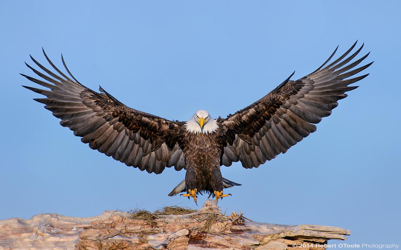 Eagle-landing-sandbar-S-Alaska-Robert-OToole-Photo.jpg