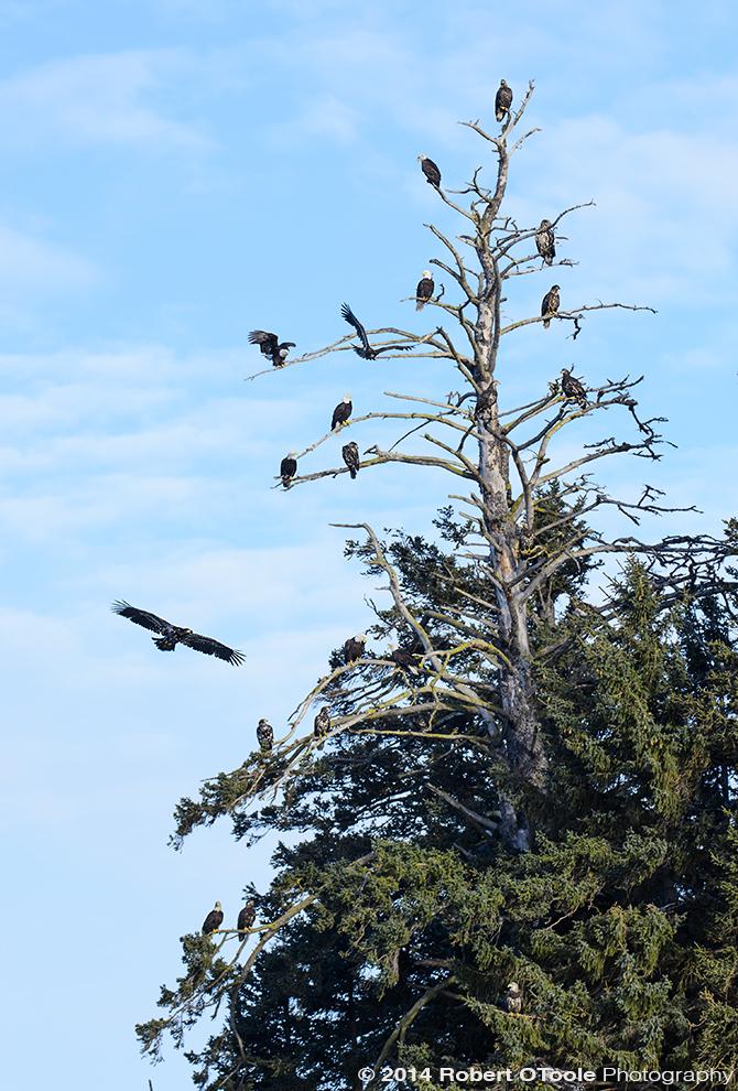 Eagles-Alaska-March-2014-Robert-OToole-Photography.JPG