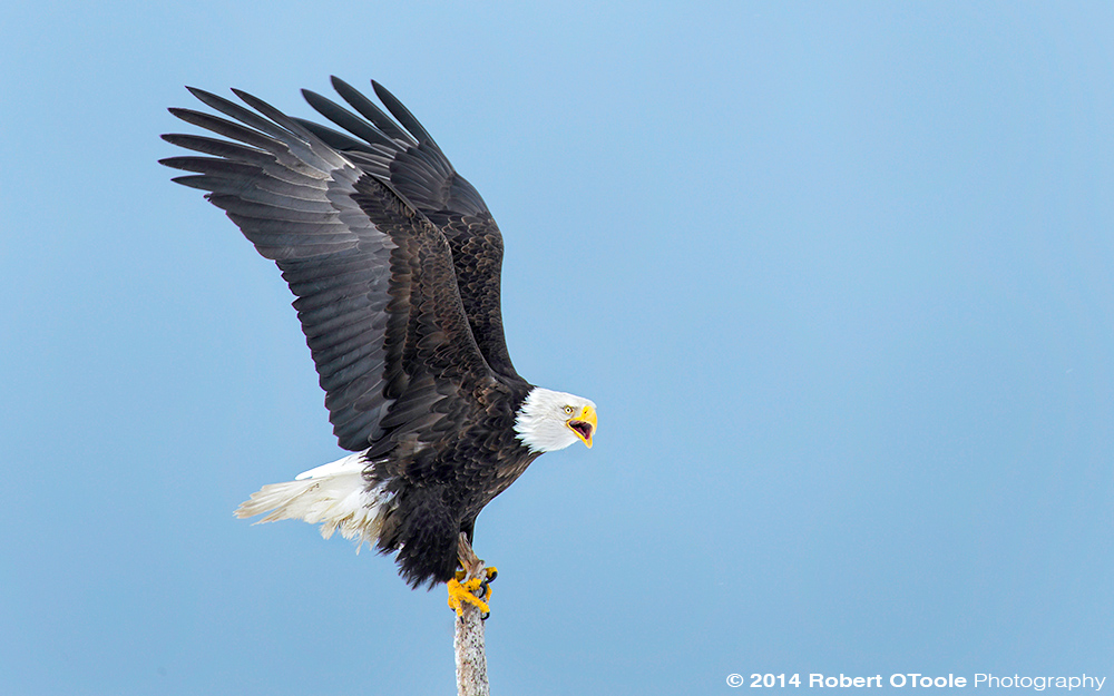 Eagle-calling-wings-up-Robert-OToole-Photography