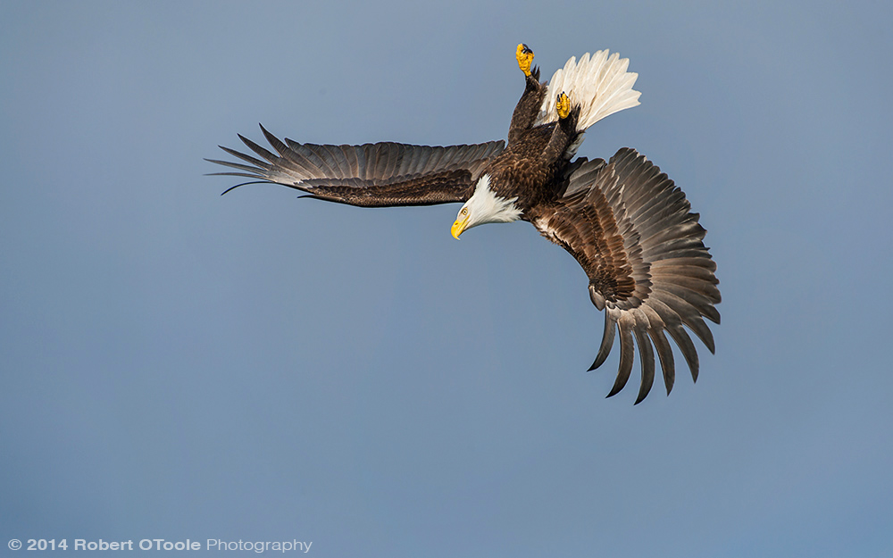 Eagle-inverted-Robert-OToole-Photography