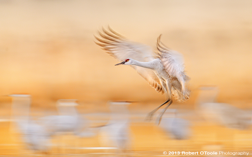 Sandhill-Crane-at-1-30th-s-Bosque-New-Mexico-2013-RobertOToole-Photography