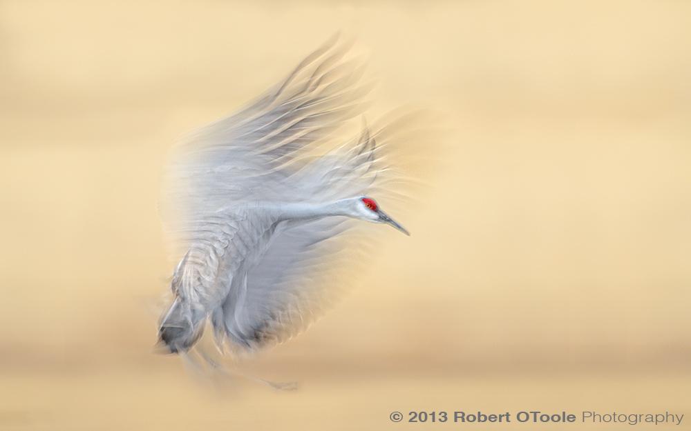 Sandhill-Crane-blur-1-20th-s-Bosque-New-Mexico-2013-RobertOToole-Photography