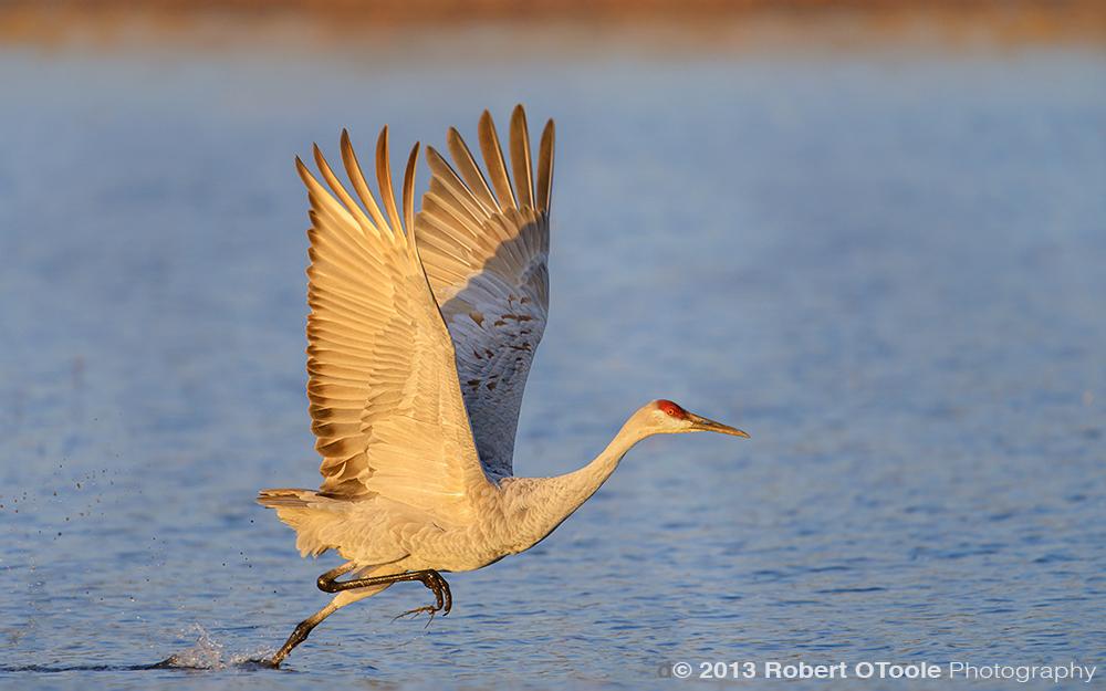 Crane-take-off-Bosque-New-Mexico-2013-RobertOToole-Photography
