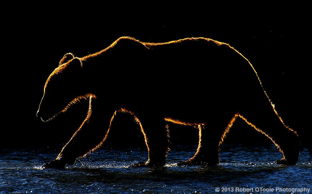 Backlit-coastal-brown-bear-Alaska-2013-Robert-OToole-Photography