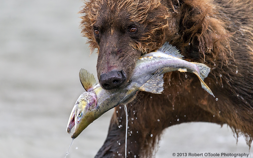 Brown-bear-with-pink-salmon-close-up-portrait-2013-Robert-OToole-Photography