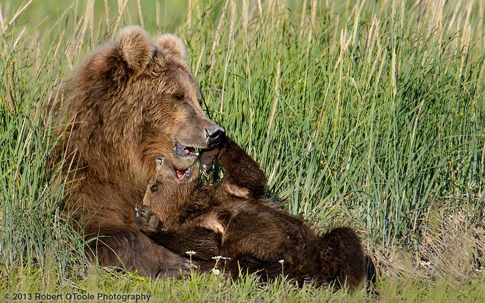 Mother-Cub-wrestling-Hallo-Bay-2013-Robert-OToole-Photography