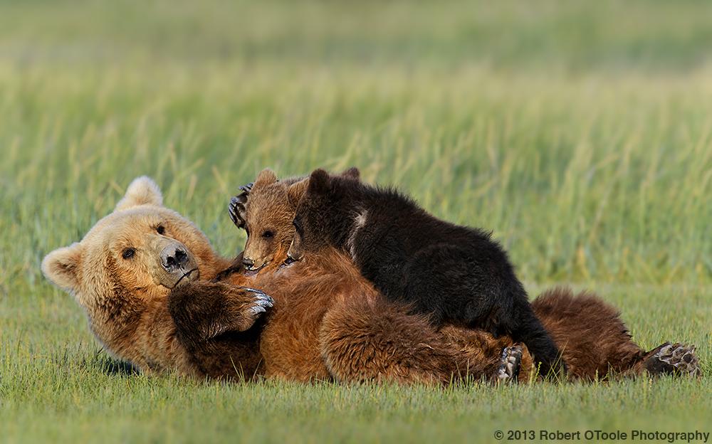 Mother-nursing-cubs-Hallo-Bay-July-2013-Robert-OToole-Photography