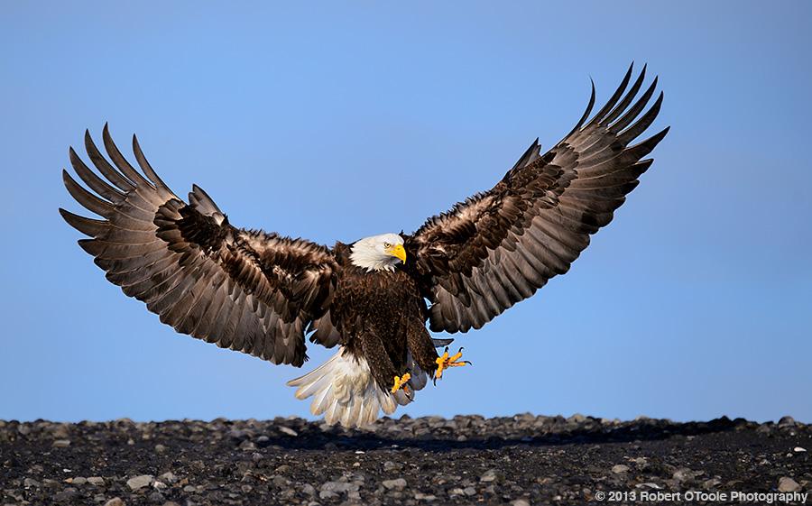 Eagle-landing-on-bar-2013-Robert-OToole-Photography