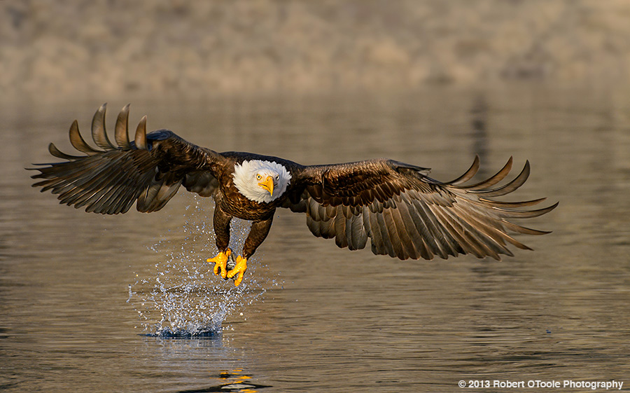 Eagle-water-strike-2013-Robert-OToole-Photography