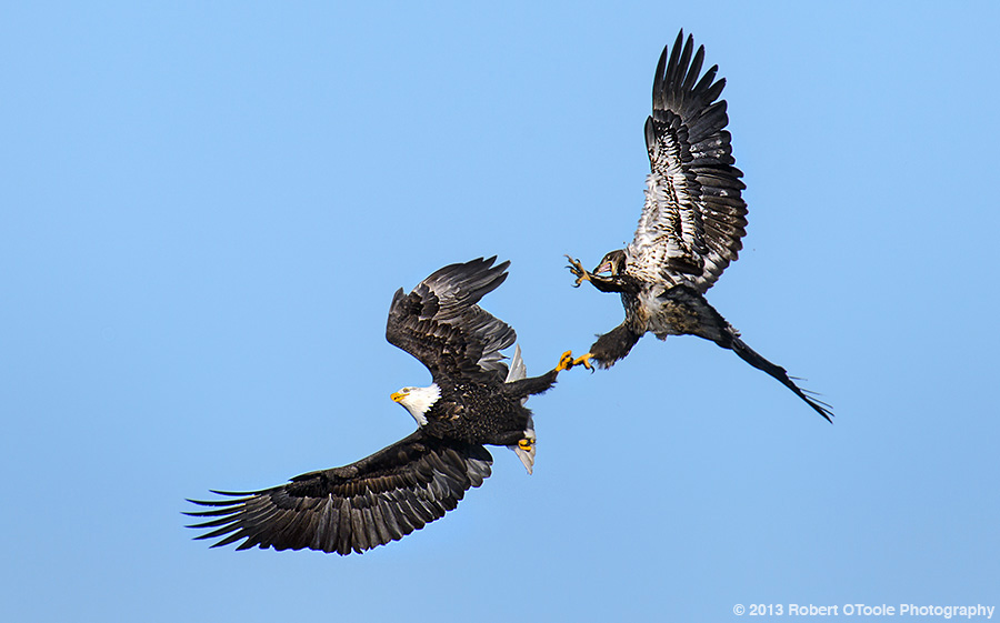Eagles-locked-talons-2013-Robert-OToole-Photography