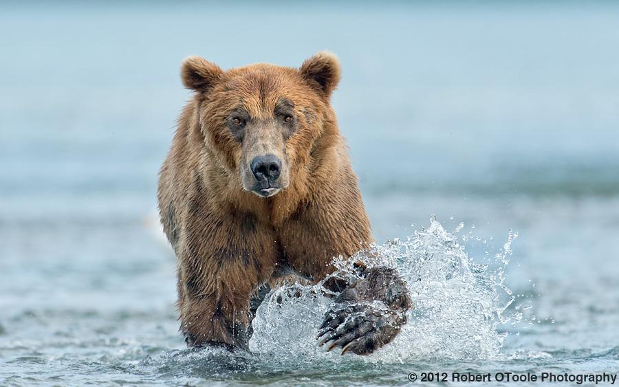 Brown-bear-head-on-Geographic-Alaska-Robert-OToole-Photography