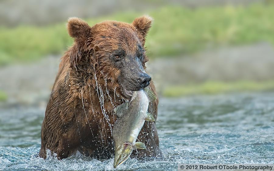 Brown-bear-with-salmon-Geographic-Alaska-Robert-OToole-Photography