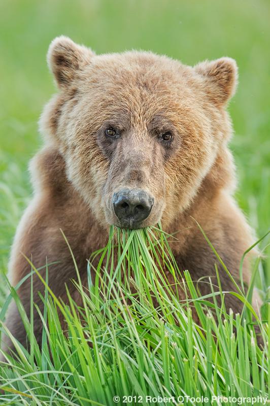 Young-Brown-bear-eating-grass-Geographic-Alaska-Robert-OToole-Photography