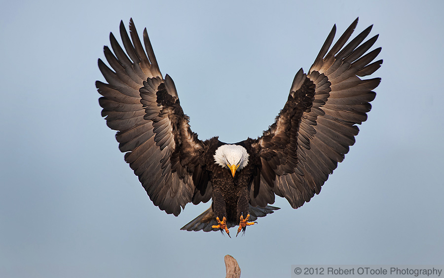 bald-eagle-landing-wings-outstretched-robert-otoole-photography