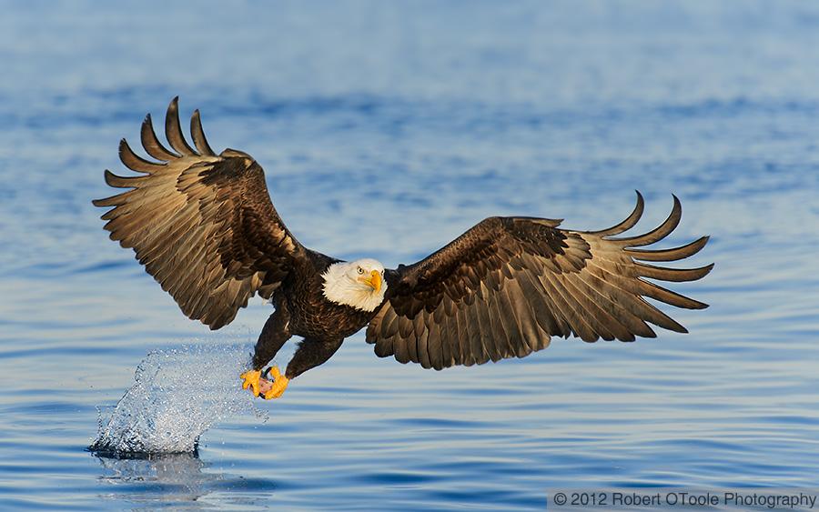 bald-eagle-strike-robert-otoole-photography-2012