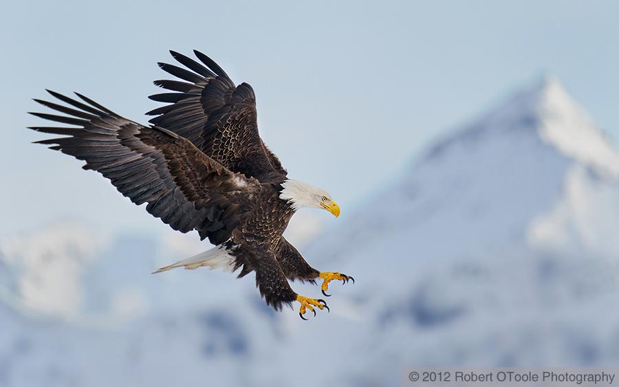 bald-eagle-landing-wings-landing-against-mountain-robert-otoole-photography