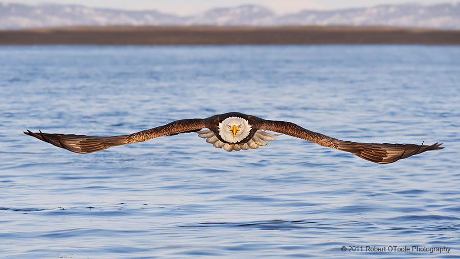 Eagle-attacking-head-on-Alaska-Robert-OToole-Photography