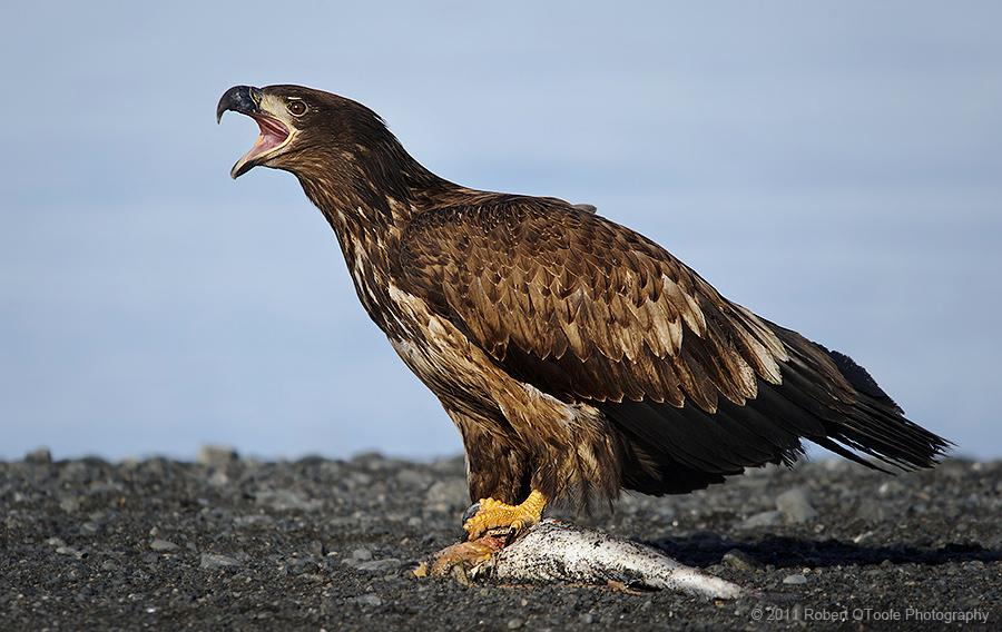 sub-adult-eagle-threat-call-Alaska-Robert-OToole-Photography