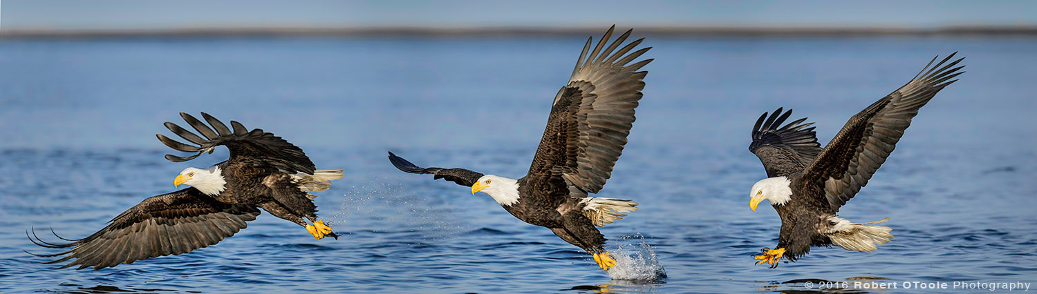 Bald Eagle Water Strike in the Morning