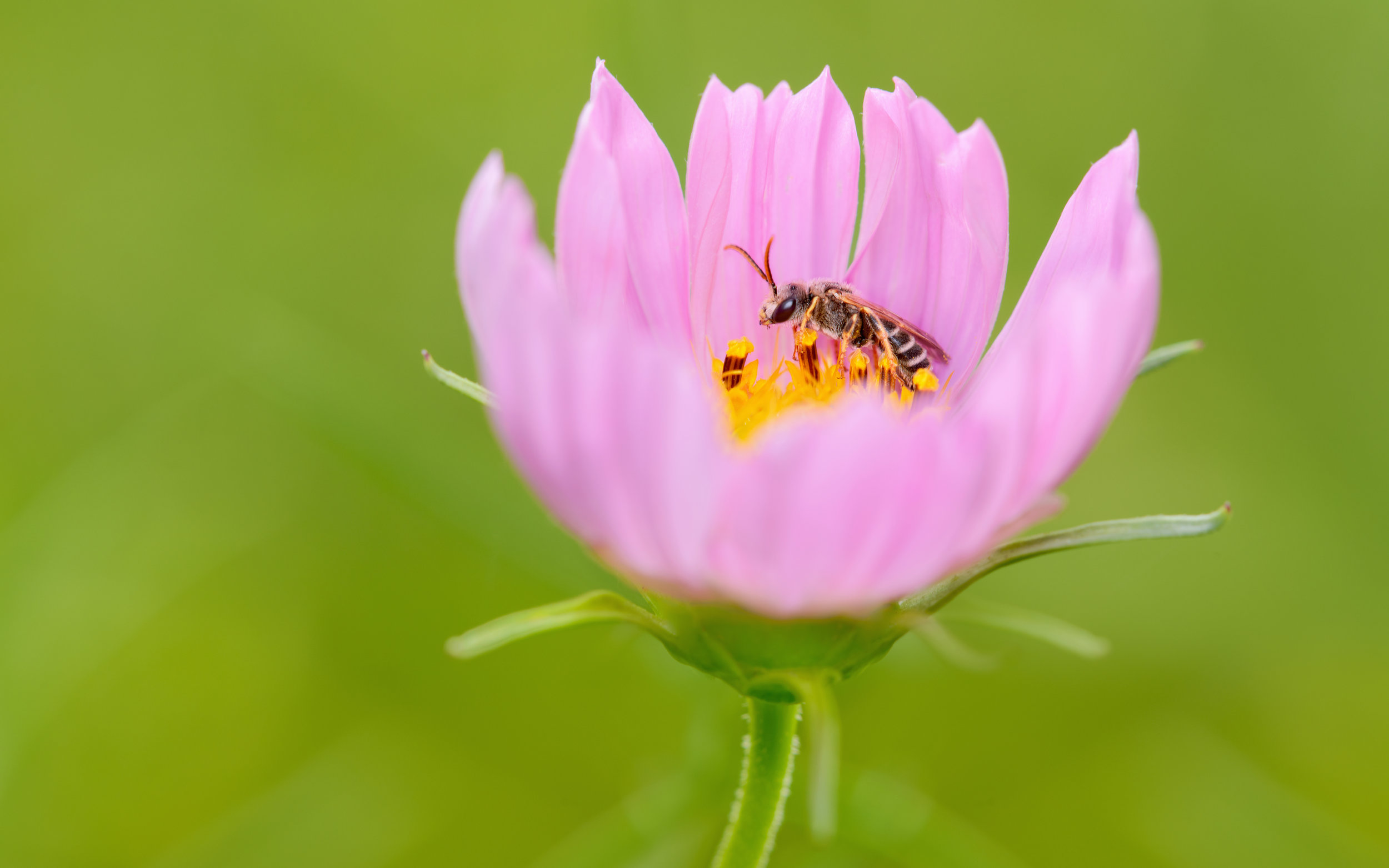 Native Bee Resting on Pink Cosmos Flower