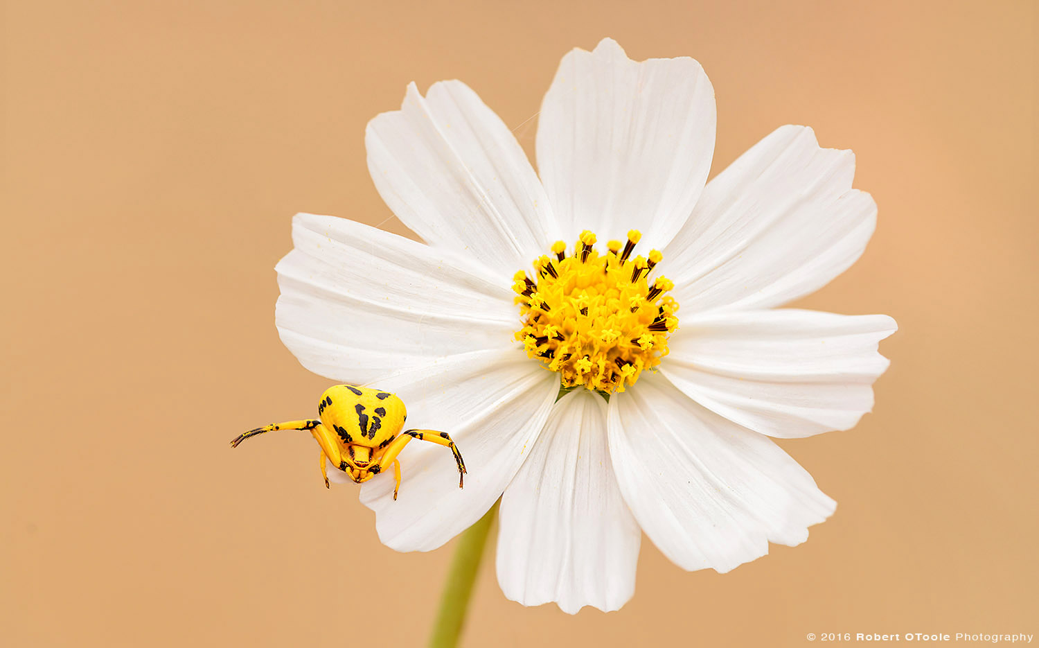 Yellow Crab Spider on White Cosmos Flower