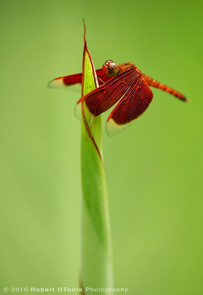 Common Parasol Dragonfly on Iris