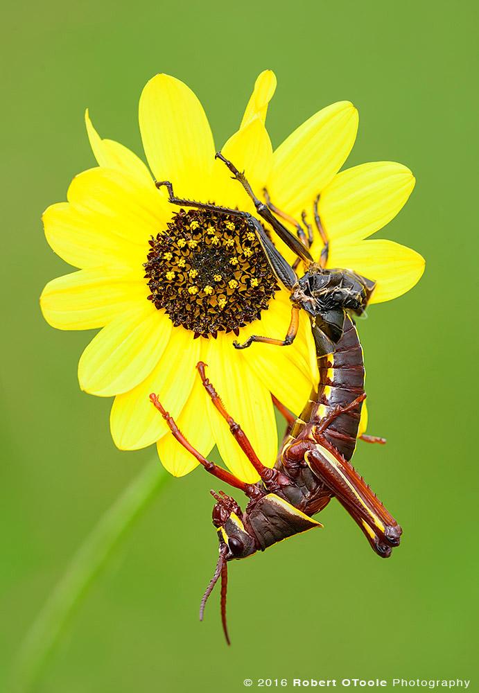 Lubber Grasshopper on Sunflower