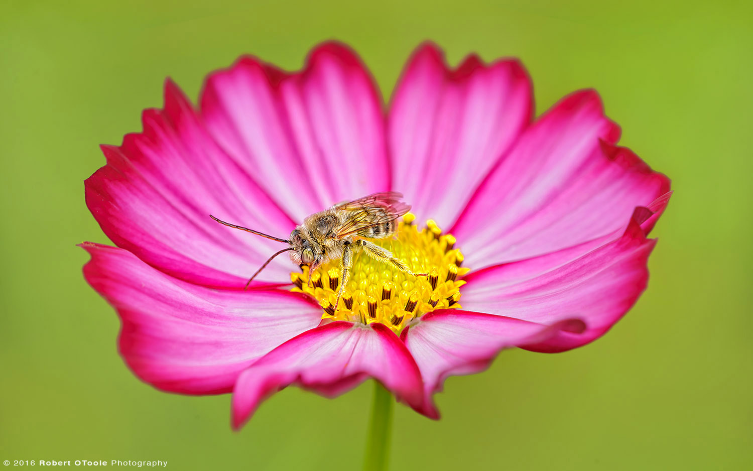 Long Horn Bee on Bicolor Pink Cosmos Flower
