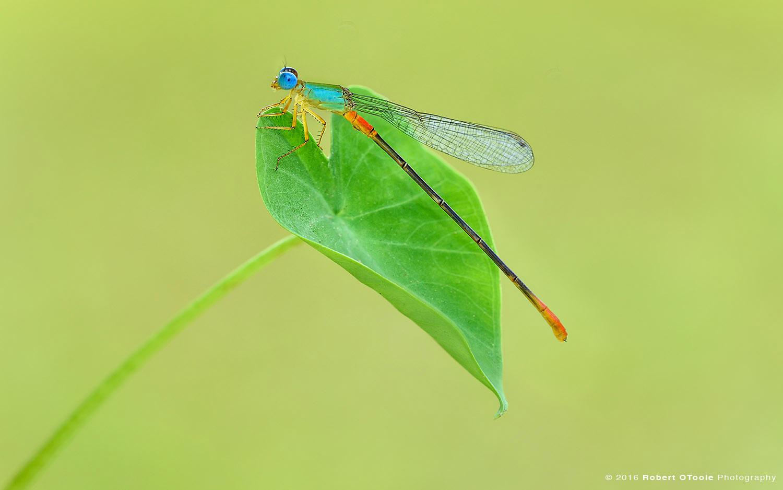Bicolor Damselfly on Green Leaf