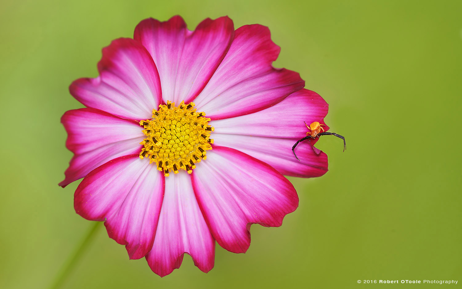 Male Crab Spider on Bicolor Pink Cosmos Flower in California