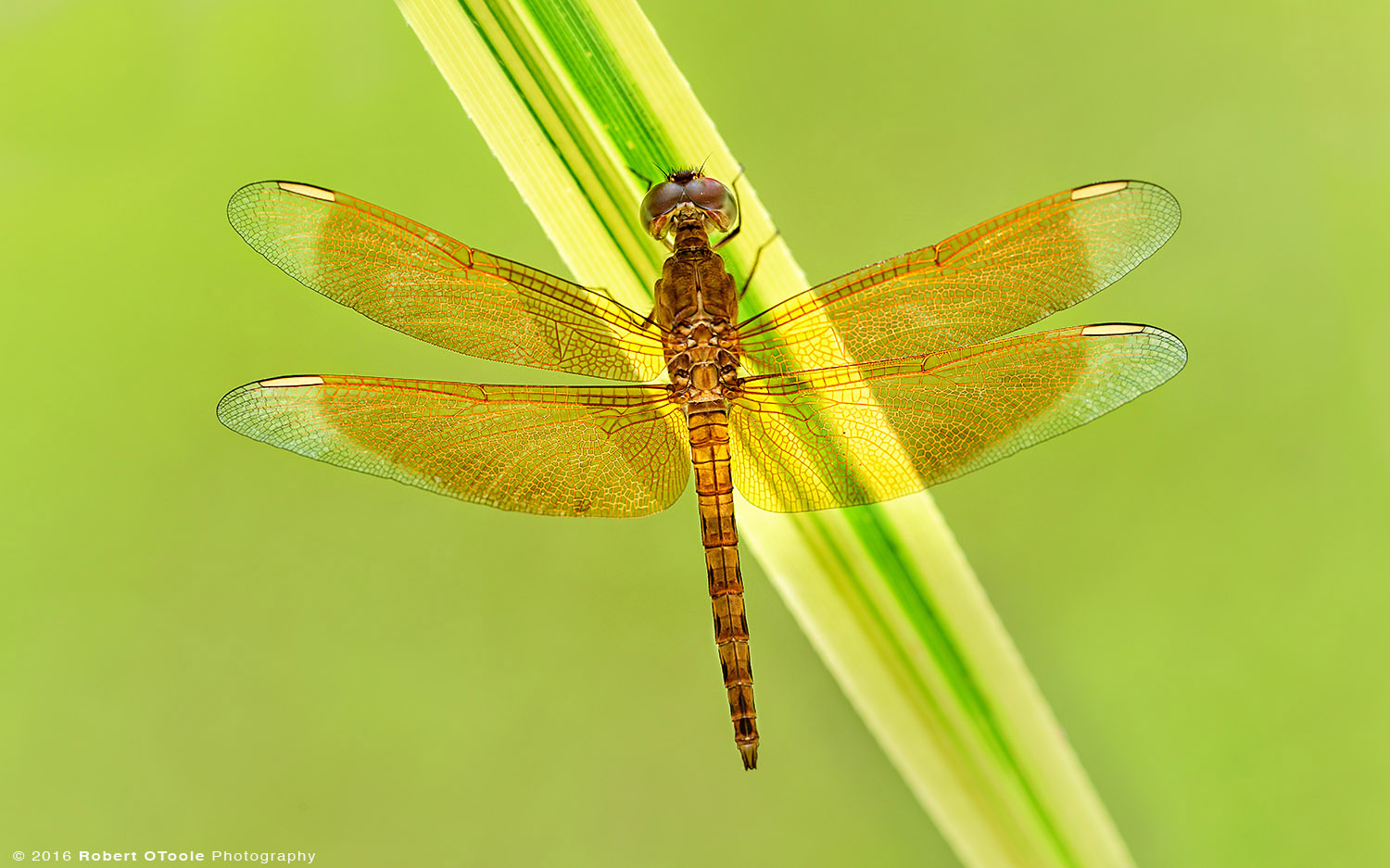 Common Parasol Dragonfly Resting on Leaf in Asia