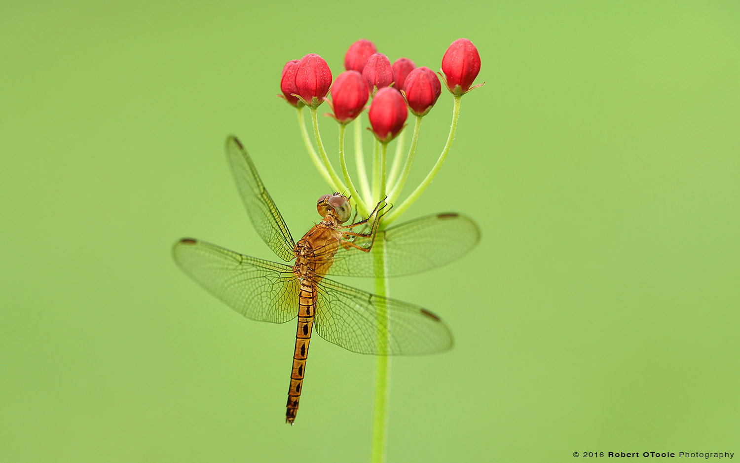 Golden Dragonfly on Bunch of Flower Buds