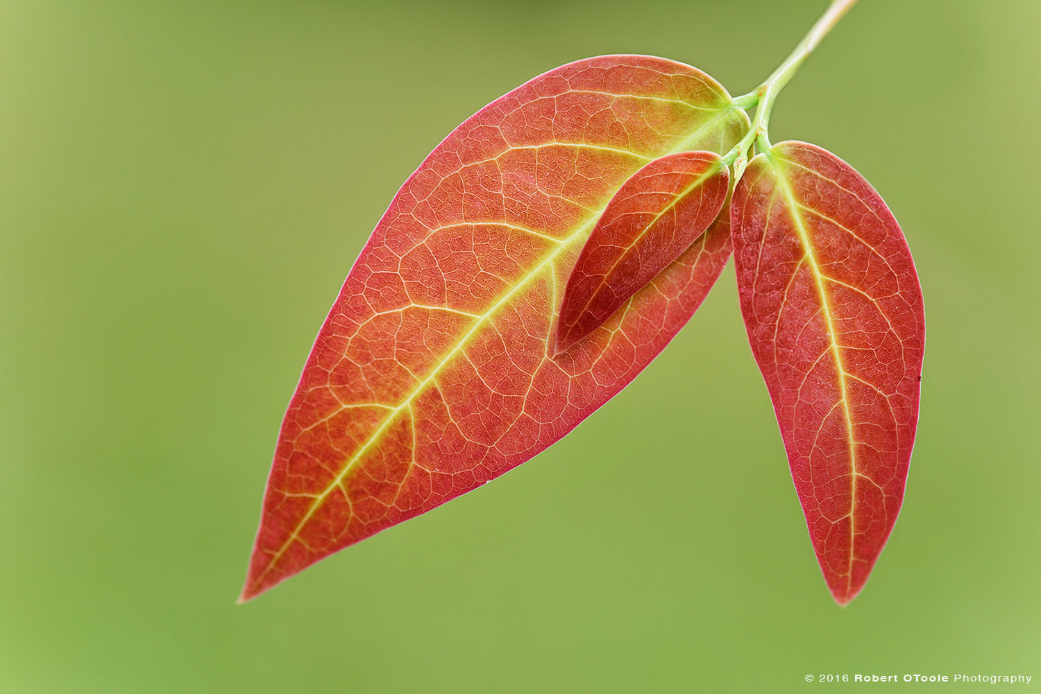 Three Red Leaves Photographed in Asia