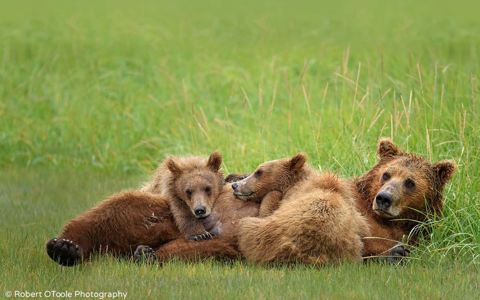 Brown-bears-and-mother-resting--Robert-OToole-Photography