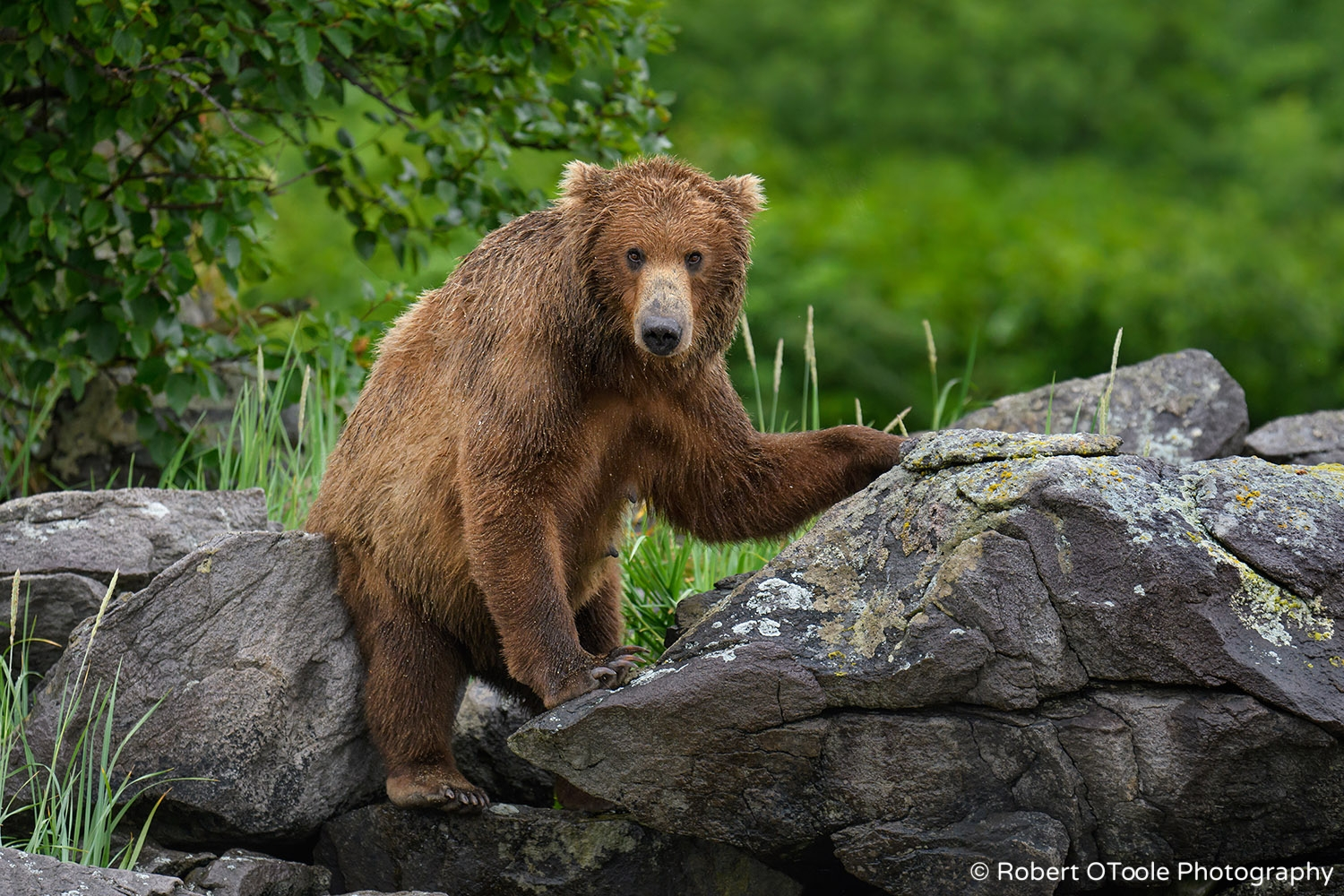 Bear Mother Scratching on the Rocks