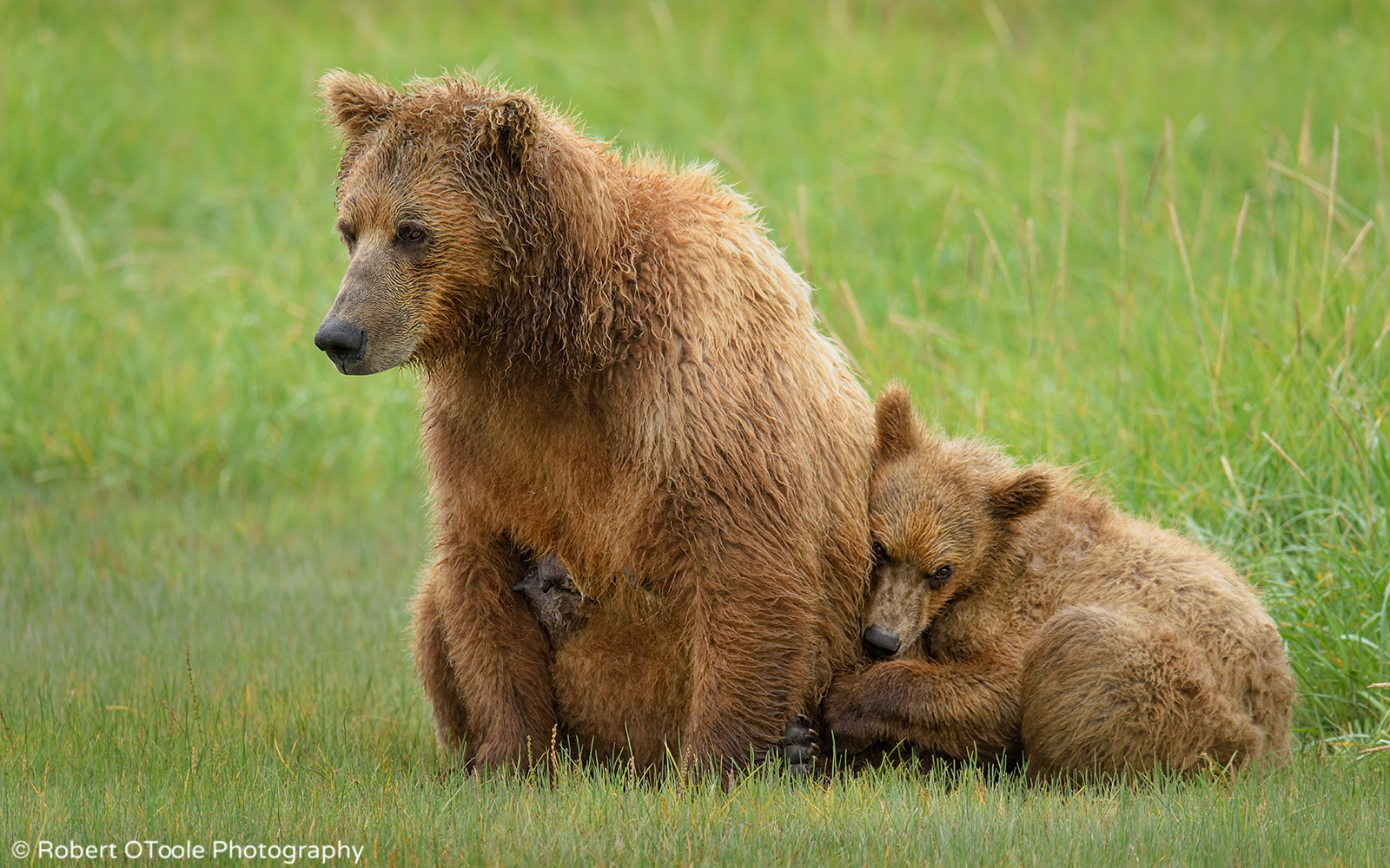 Brown Bear Cub Resting on Mother Bear