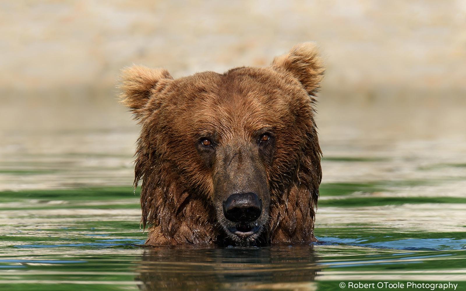 Brown Bear in Water Staring at the Camera in Alaska