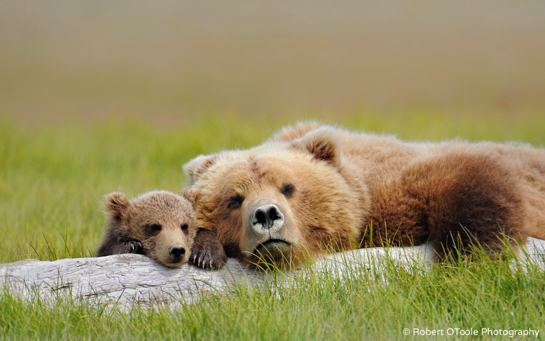 Brown Bear Sleeping with Cub