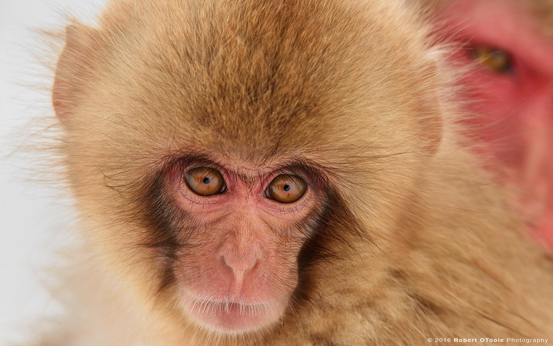 Snow Monkey Baby under Watch of Older Sister