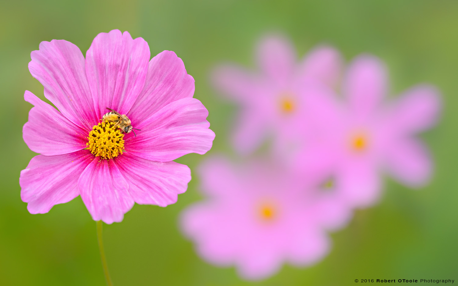 Native Bee on Pink Cosmos Flowers