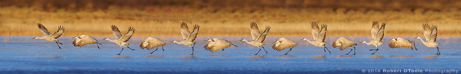 Sandhill Crane Thirteen Shot Sequence