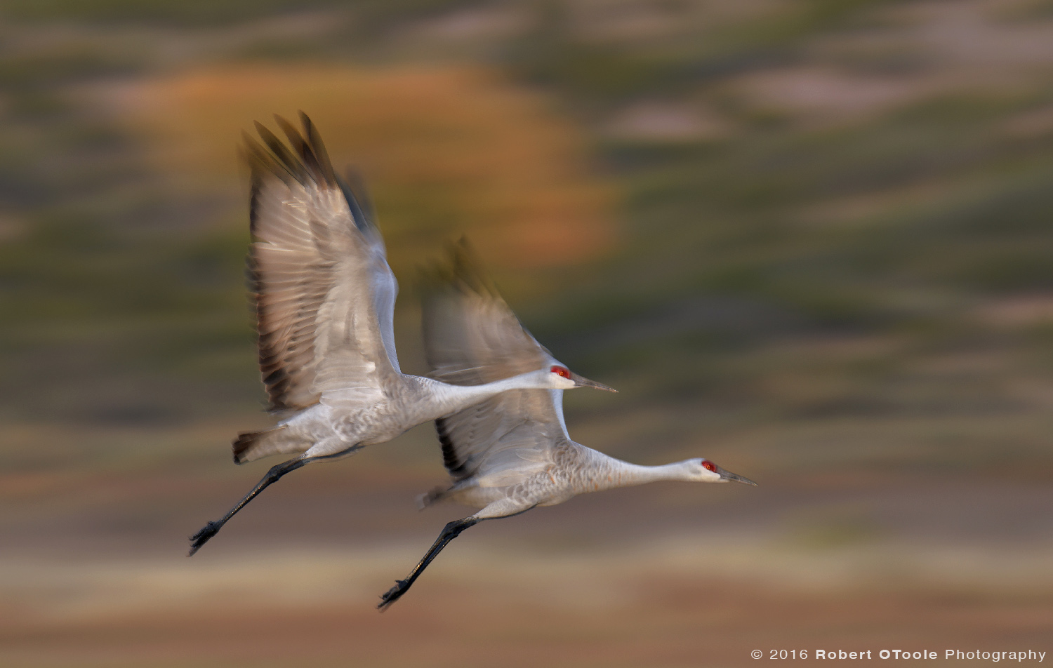 Pair of Sandhill Cranes Flying against Cottonwood at 1/25th s