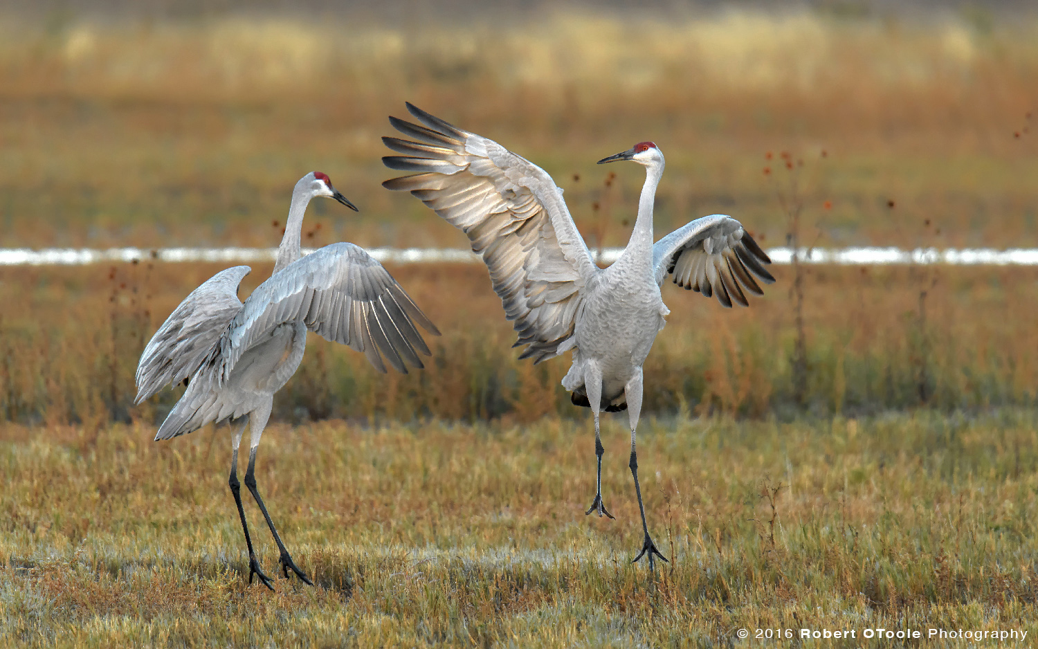 Pair of Dancing  Sandhill Cranes