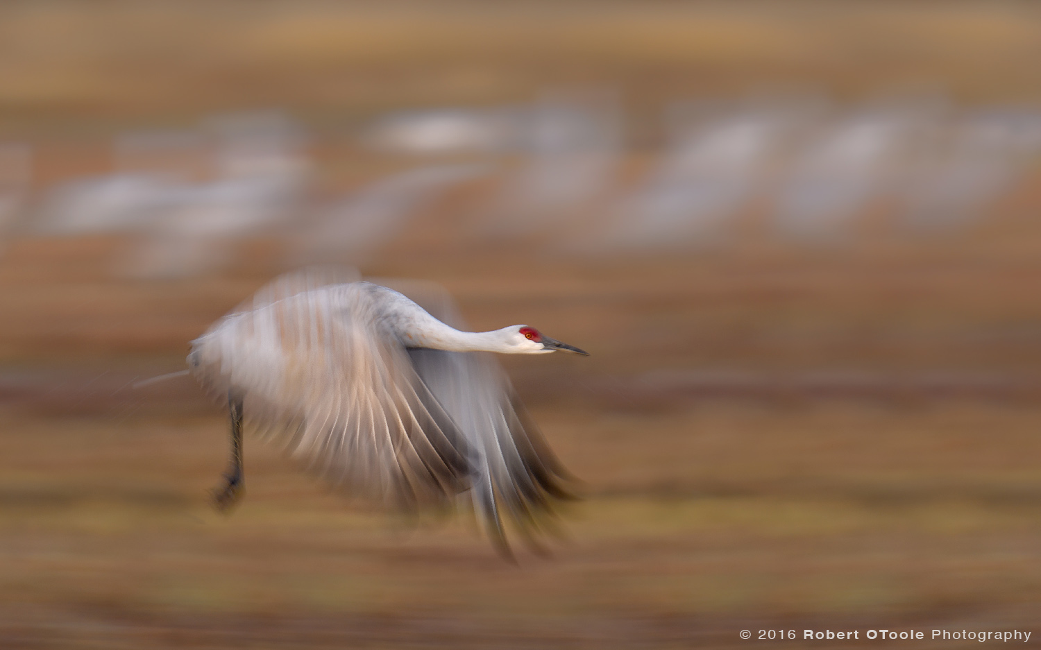 Sandhill Crane Flying at 1/40th s