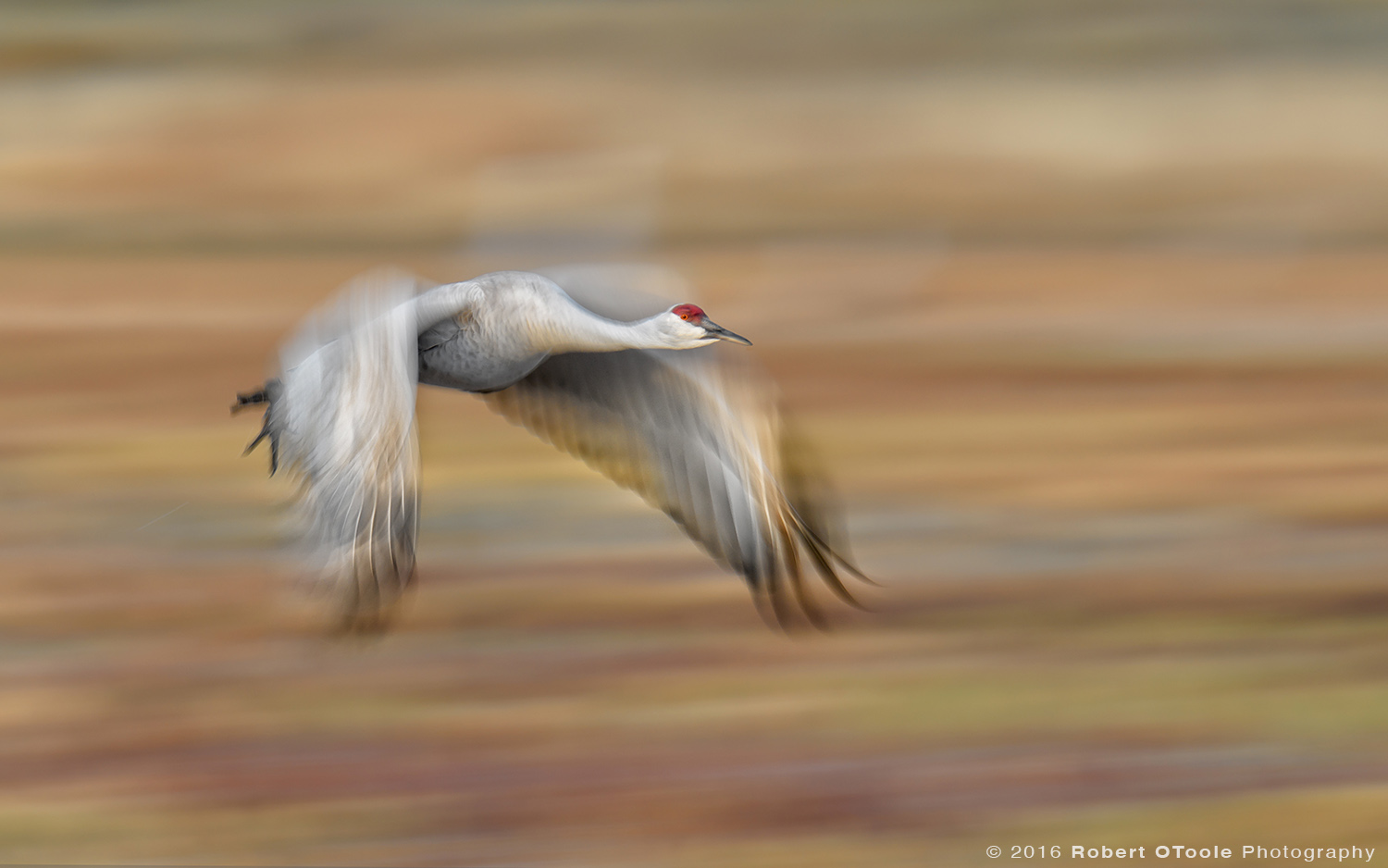 Sandhill Crane Flying at 1/25th s
