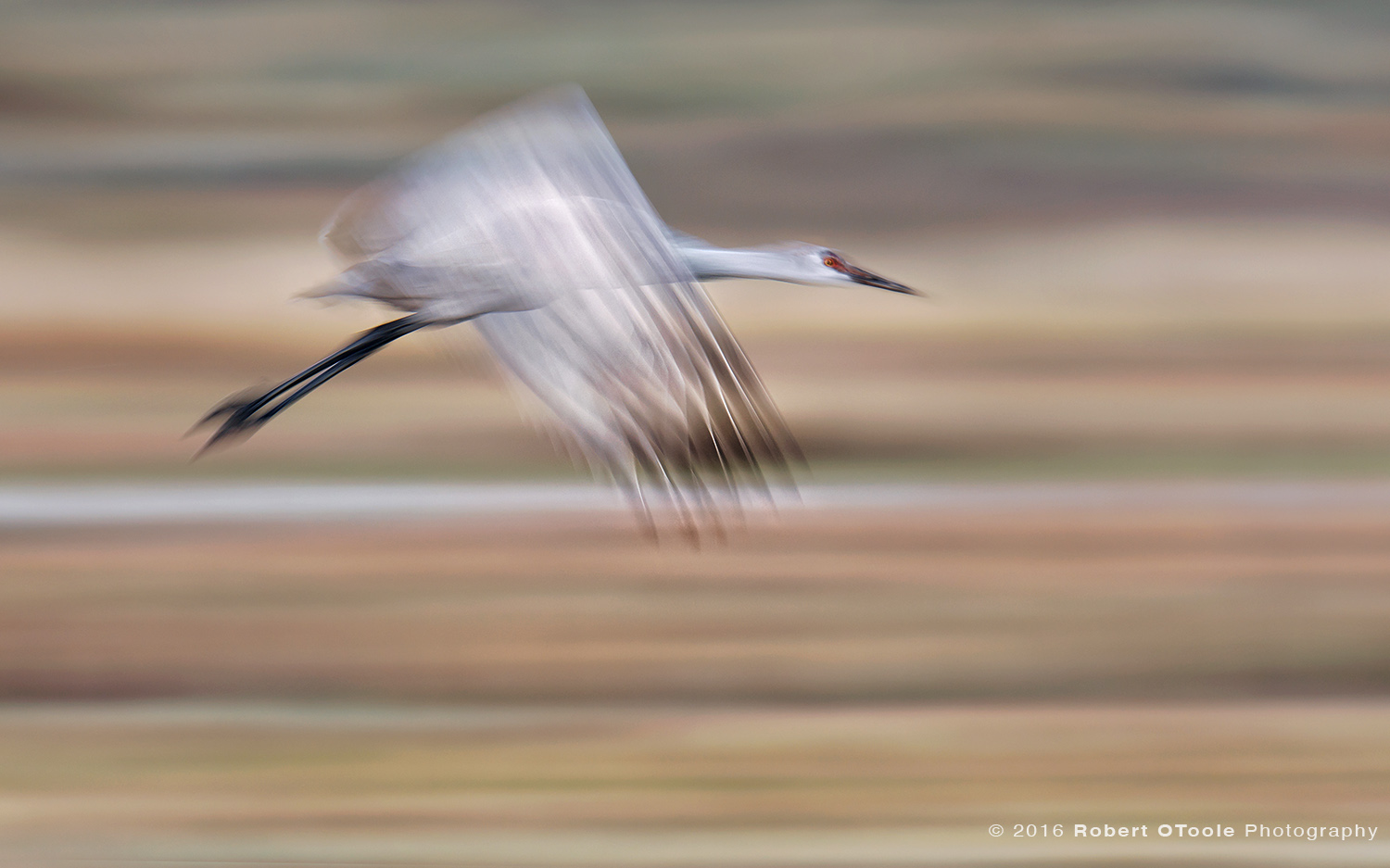 Sandhill Crane Juvenile Flying at 1/25th s