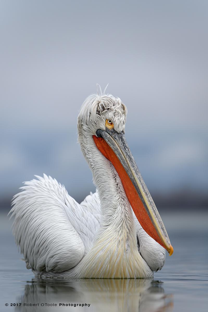 Dalmatian Pelican Curls