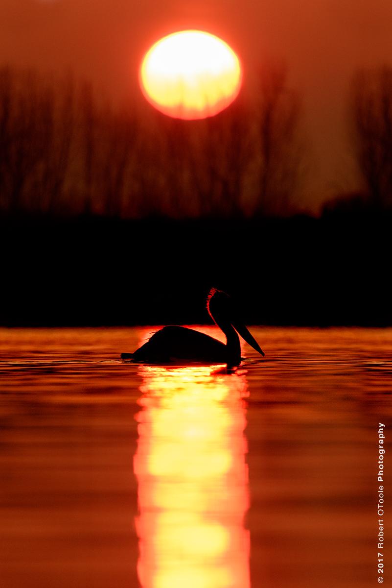 Dalmatian Pelican Silhouette at Sunrise